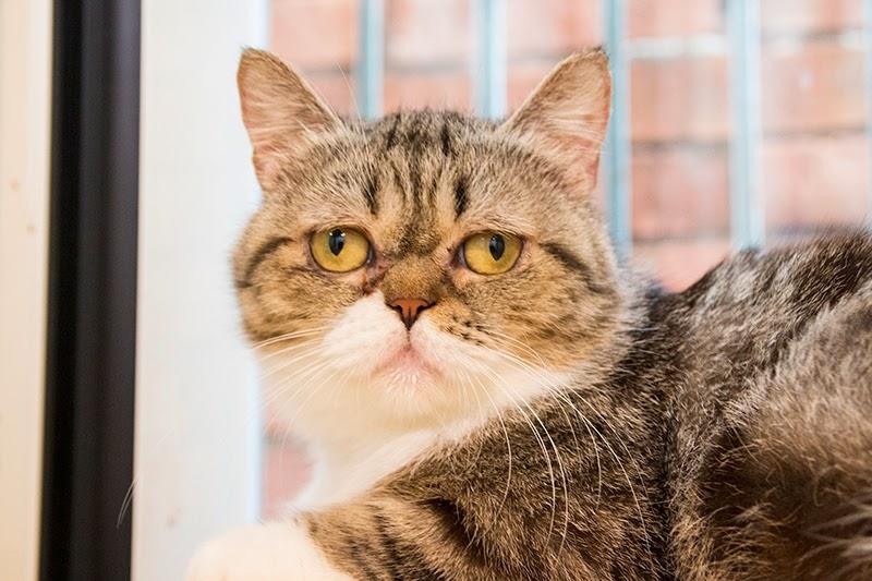 待送養貓咪- 小斑,臉臉長得像加菲貓