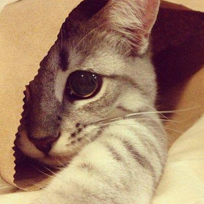 Foto gato escondido
