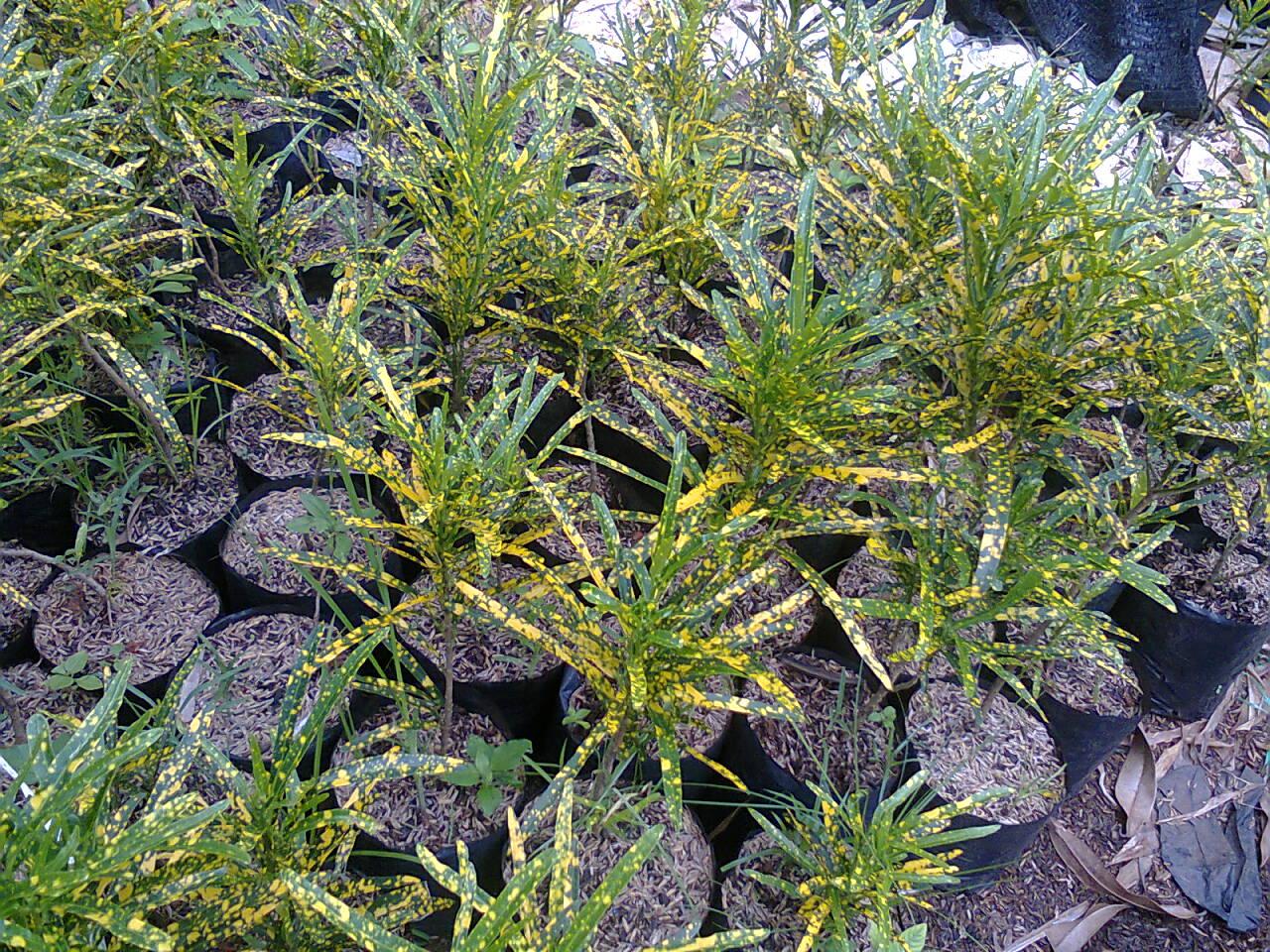 puring teri codiaeum variegatum bi