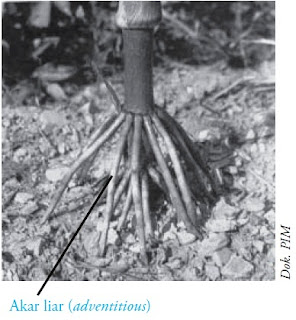 Akar liar (adventitious) pada tanaman jagung
