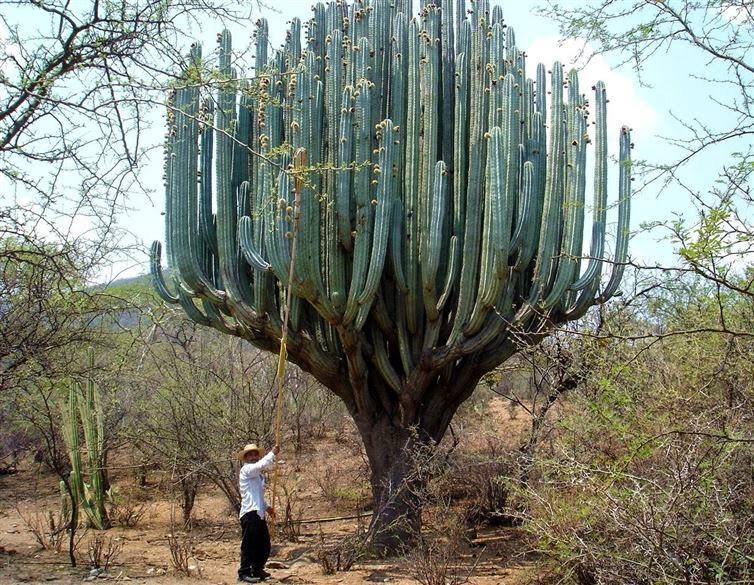 نبتة صبار ضخمة