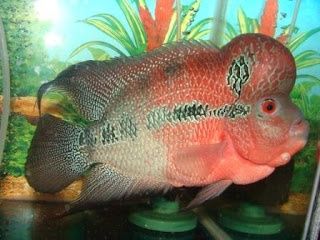 Flowerhorn fish for Dragon fish for sale