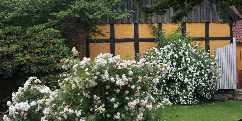 Havefolket: rosenflor i ribes gÅrdhaver