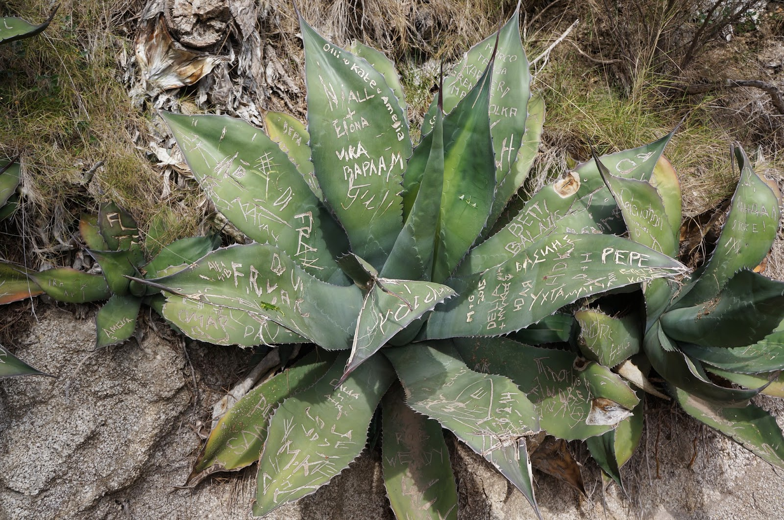 Yucca desert plant with graffiti carved names
