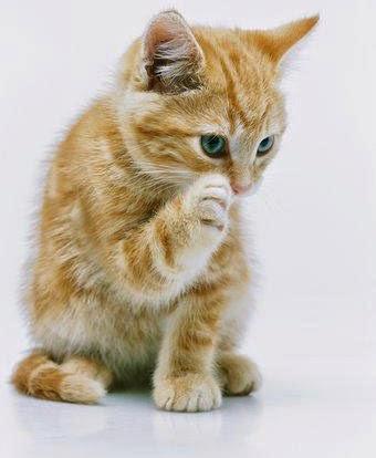 Gambar Kucing Ngakak godean.web.id