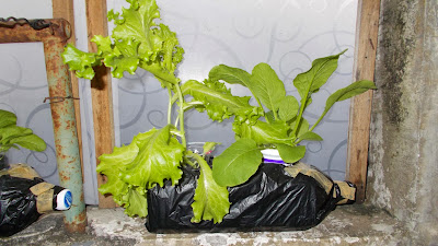 Teknik Cara Budidaya Sayuran Secara hidroponik di Botol Plastik Bekas