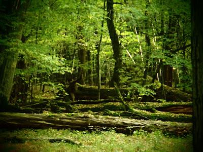 Puszcza Niepołomicka, rezerwat Lipówka, grzyby w październiku, grzyby 2015, ozorek dębowy, Fistulina hepatica, łuskwiak złotawy - Pholiota aurivella,  pieniężnica szerokoblaszkowa, Megacollybia platyphylla, Sromotnik smrodliwy [sromotnik bezwstydny] Phallus impudicus, czernidłak pospolity, Coprinopsis atramentaria, Purchawka gruszkowata, Lycoperdon pyriforme