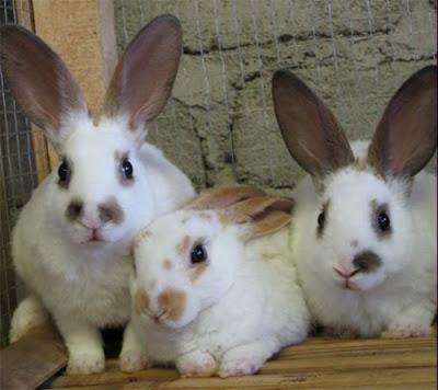 panduan cara budidaya ternak kelinci pedaging poc nasa viterna hormonik natural nusantara distributor resmi nasa