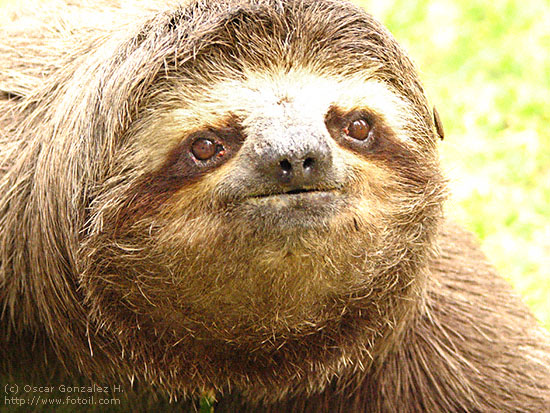 Disappointed sloth
