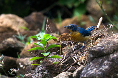 A photograph of a Tickell's Blue Flycatcher taken in Kandy, Sri Lanka