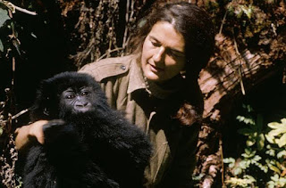 The greatest champion of Gorilla conservation was Dian Fossey who's pioneering work laid the basis for much of our understanding of these endangered animals.