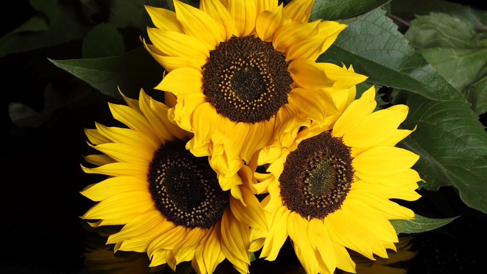 Your Wallpaper Sunflower Wallpaper