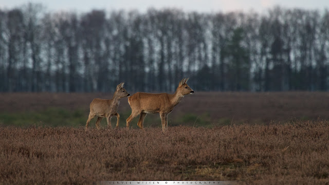 Roe deer and calf