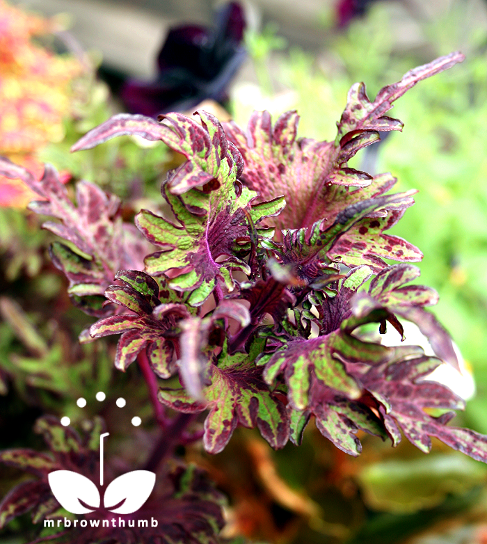 Coleus Under the Sea 'Lime Shrimp'
