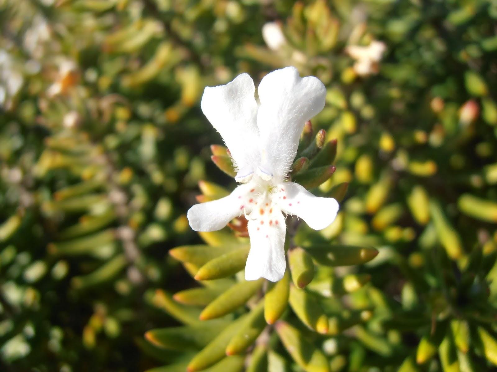 Romero australiano westringia fruticosa plantas riomoros for Hojas ornamentales