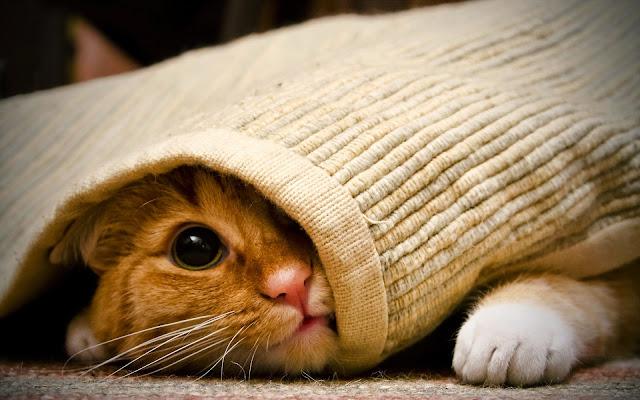 hình nền mèo xinh