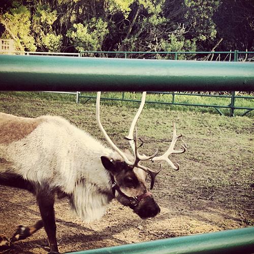 San Francisco Zoo - Reindeer - NowThisLife.com