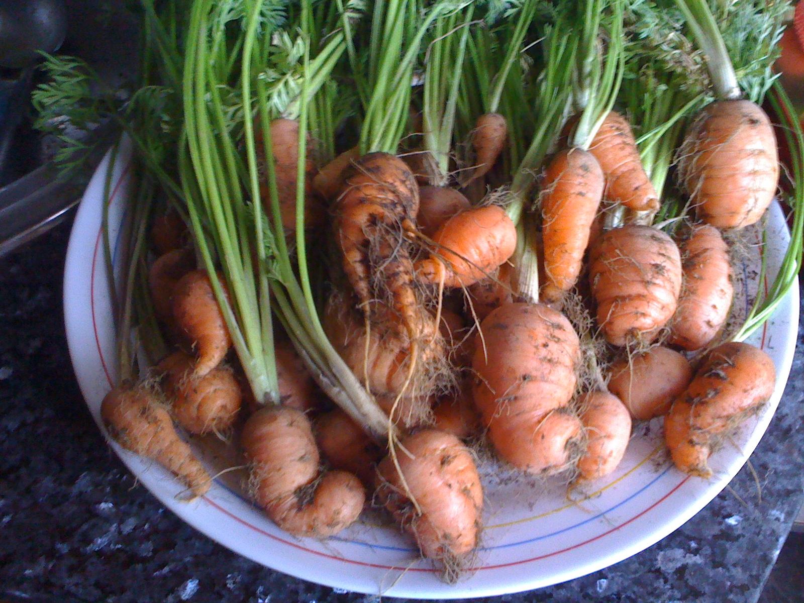 El huerto de juan y flora las zanahorias plantadas en el - Plantar limonero en maceta ...