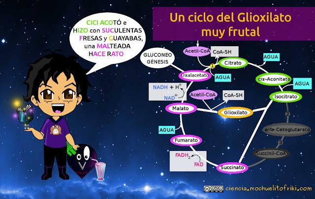 ciclo del glioxilato mnemotecnicos