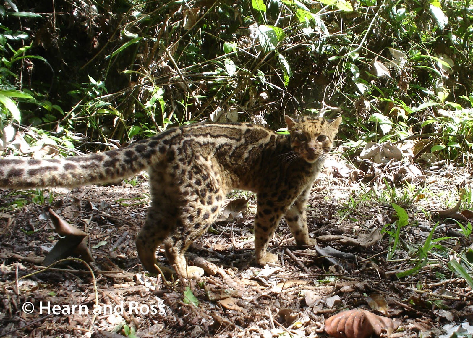 Sunda clouded leopard - Wikipedia