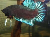 Jual Ikan Cupang Adu Super Grade A
