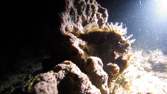 scorpion fish mafia island tanzania