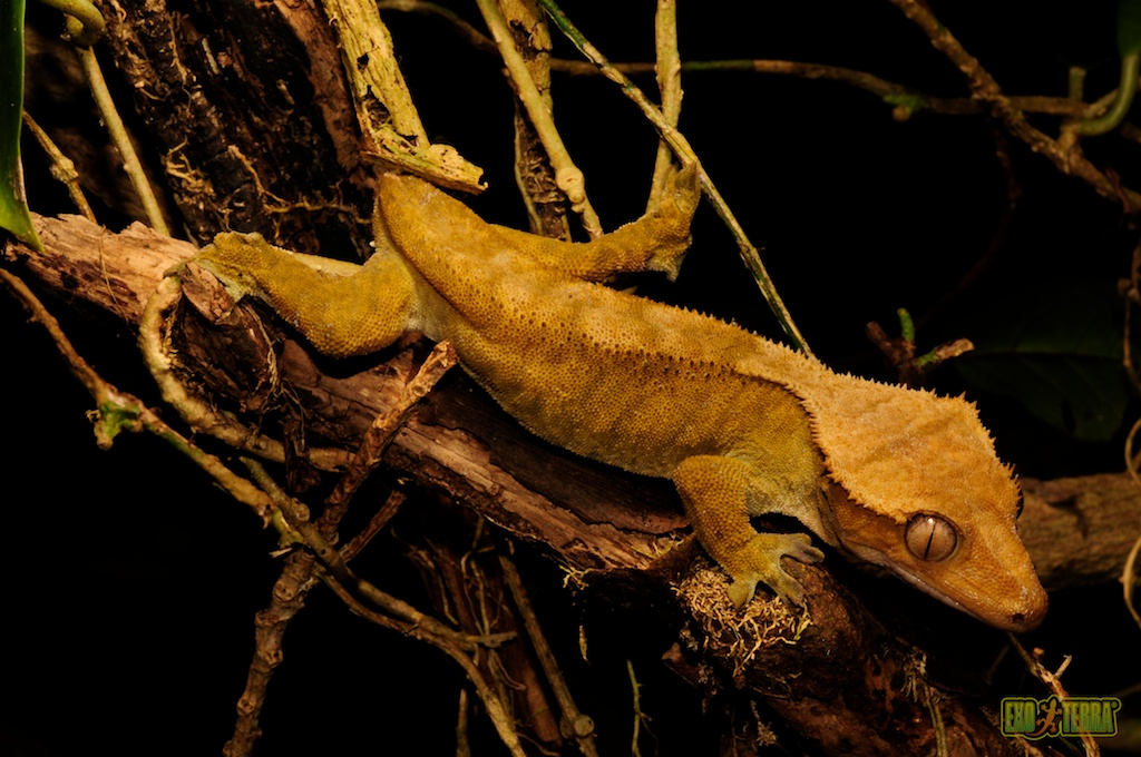 Crested Gecko The Yellow Crested Geckos Of The Isle Of