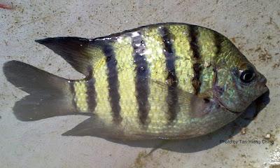 Bengal Sergeant, Ikan Gombing Benggala