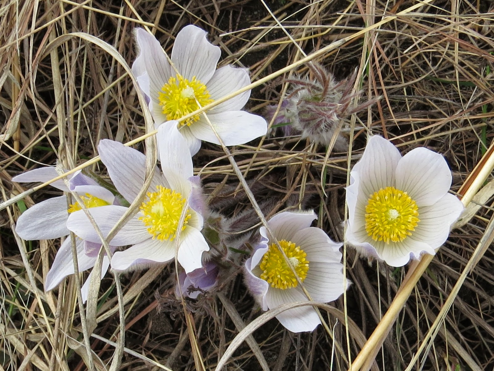 Penelopedia Nature And Garden In Southern Minnesota Pasqueflowers