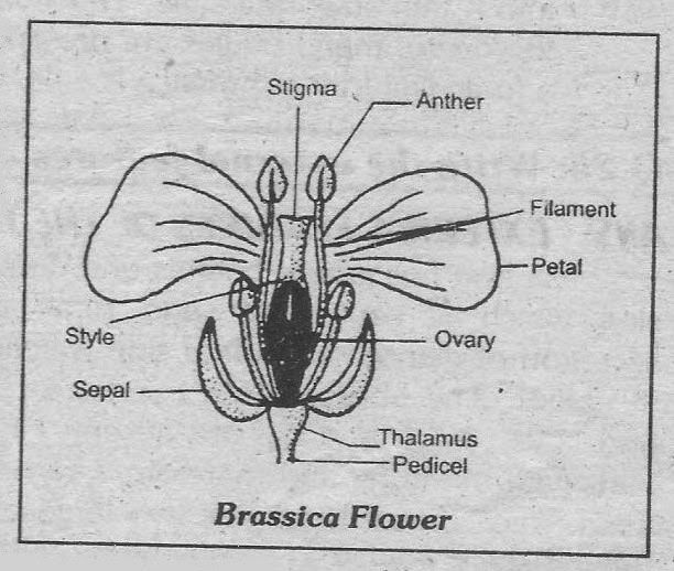Notes Guide Book Write A Note On Different Parts Of Brassica Flower