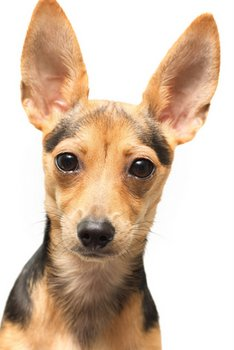 Dog With Dfolded Ears