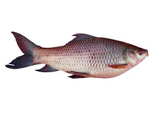 fish breeding business plan