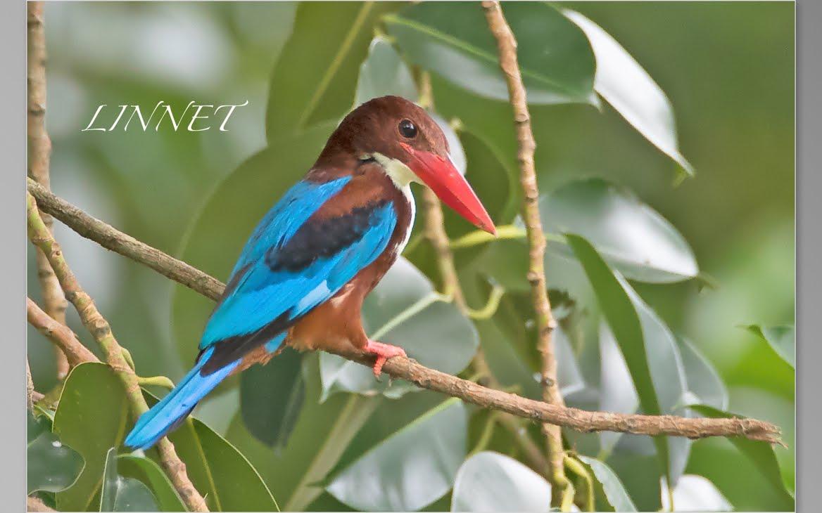 シンガポールの野鳥(Bird of Singapore)