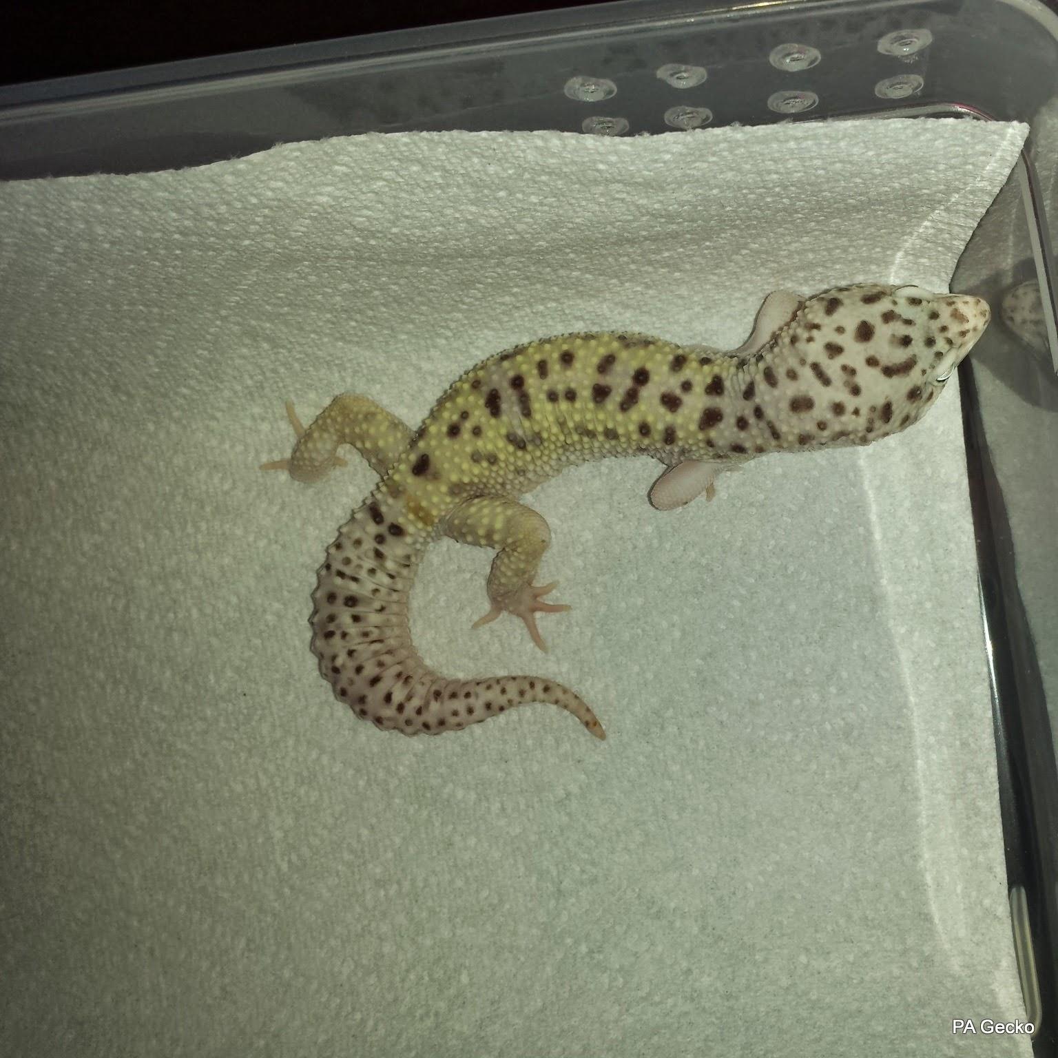 PA Gecko Snow W&Y Male