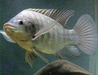 Cara Budidaya ikan nila Nirwana