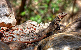 Gallotia stehlini - Lagarto de Gran Canaria