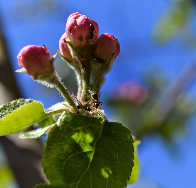муравьи, яблоня в цвету