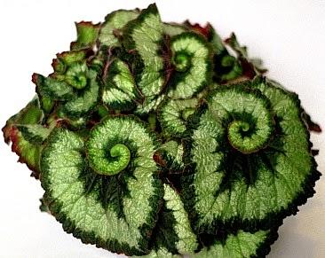 tanaman-hias-begonia