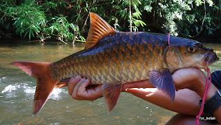 Gambar gambar Ikan Kelah Di Malaysia