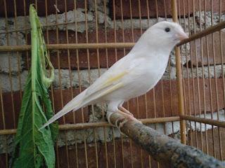 Burung Kenari - Solusi Penangkaran Burung Kenari -  Kode Ring Kenari Import Pada Negara Slovakia