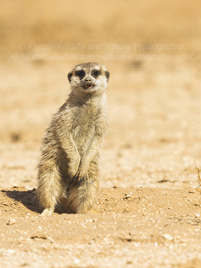 Photography of a Meerkat