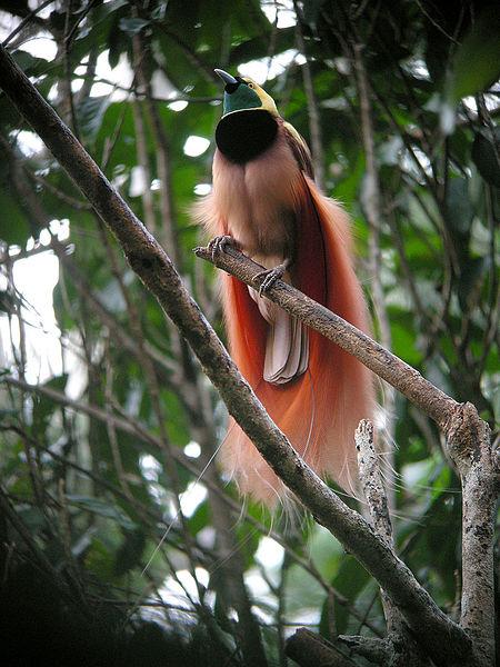 [Image: 450px-Raggiana_Bird-of-Paradise_wild_5.jpg]