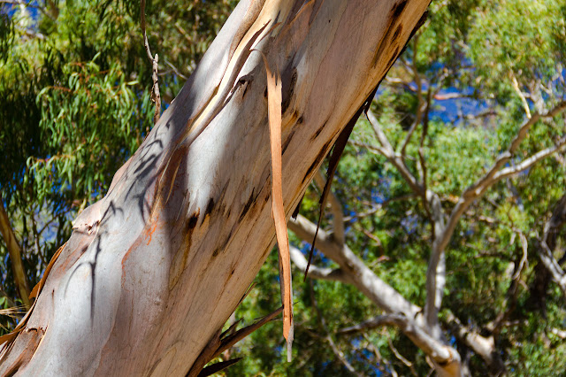 bark peeling from eucalypt tree