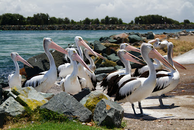 A photograph of a flock of Pelicans taken in Forster, Australia