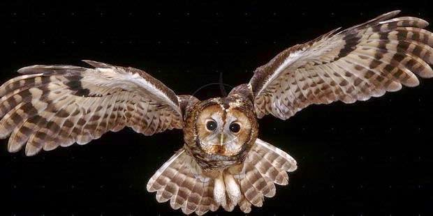 Foto Burung Hantu Jantan