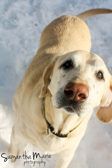 yellow lab millinocket maine