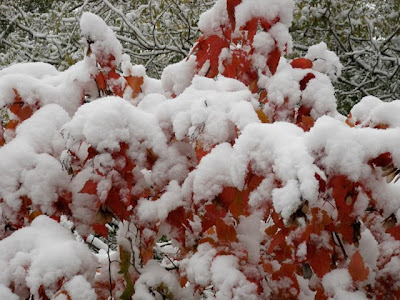Snow Covered Red Sumac Leaves Photograph