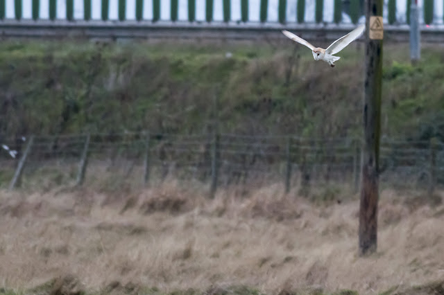 Last of the Barn Owl in Flight