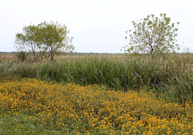Swamp Sunflower and Cattails-Brazos Bend State Park, Needville, Texas