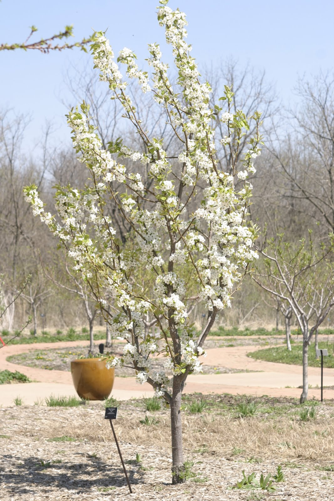 Shinko asian pear edible landscaping - Pears Are Known For Their Upright Form And Here S A Mug Shot Of Honsui Asian Pear In Bloom You Do Need Two Varieties Of Asian Pears To Set Fruit And Their
